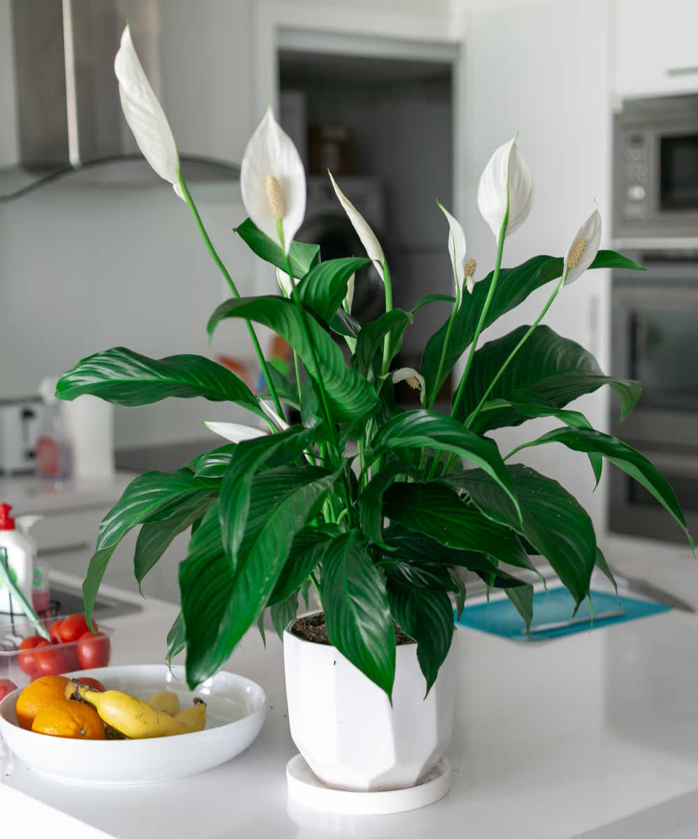 Peace lily in flower on a kitchen counter to bring good luck.