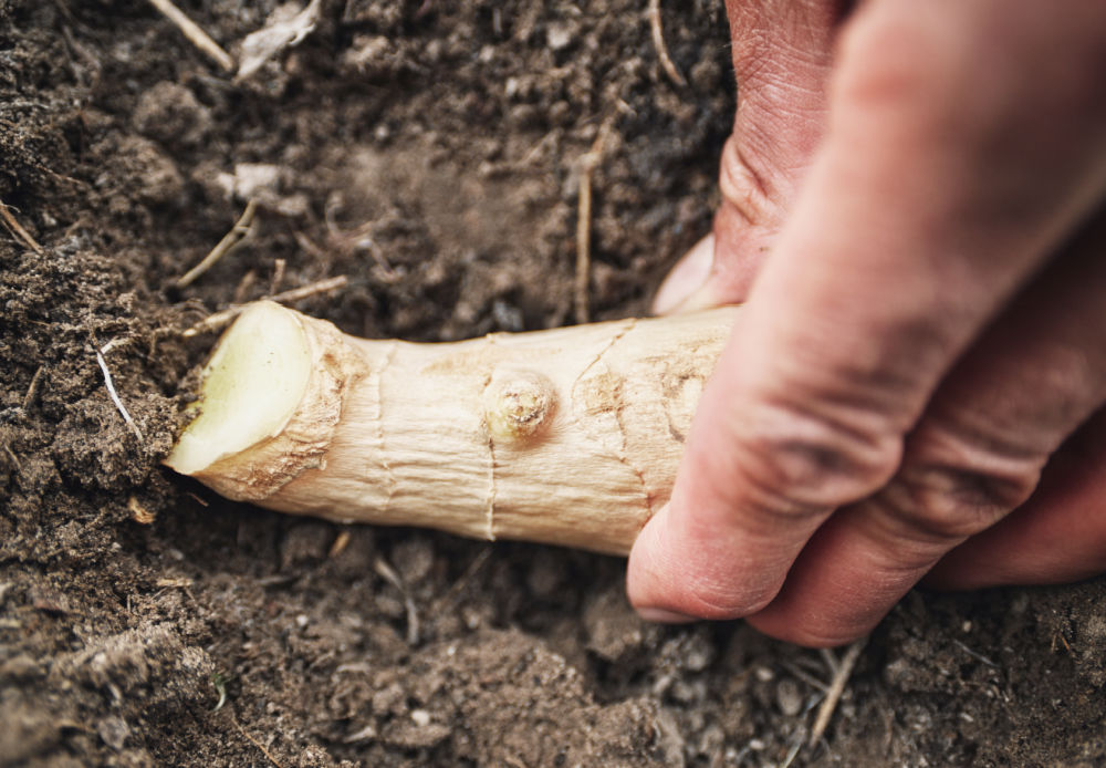 Hand planting pieces of ginger root in soil.