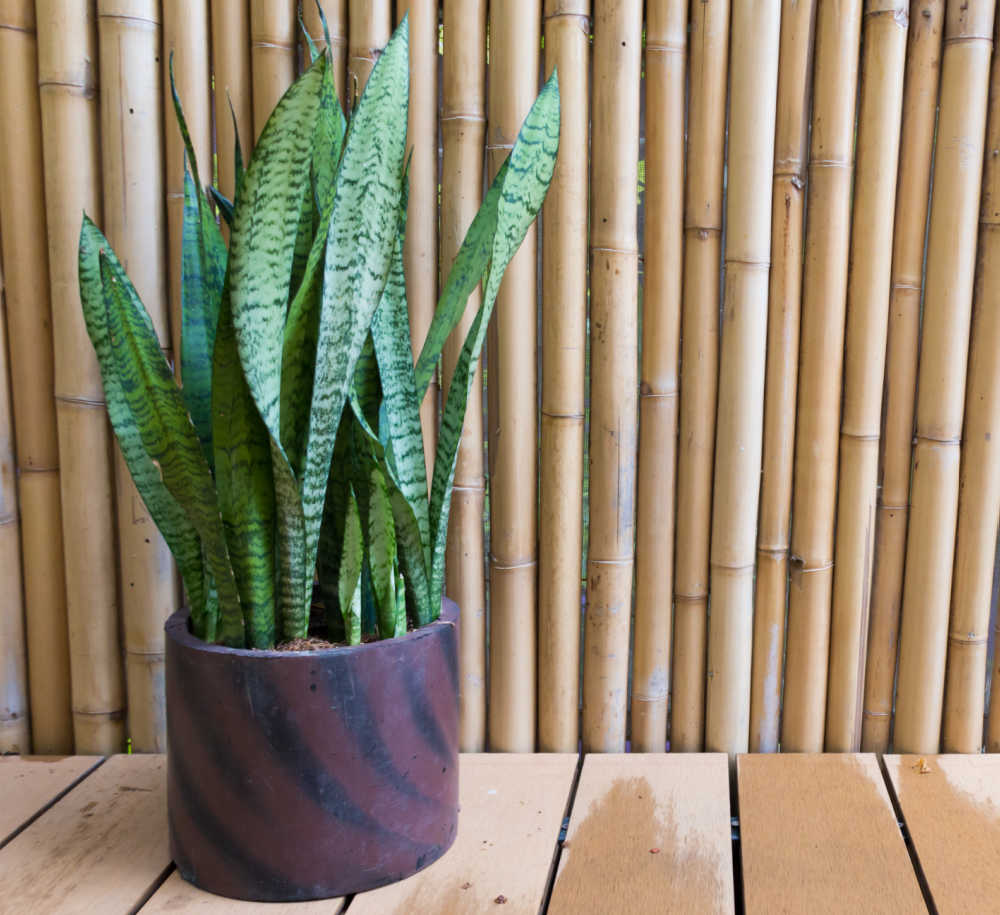 Snake plant in a brown pot near a bamboo wall.