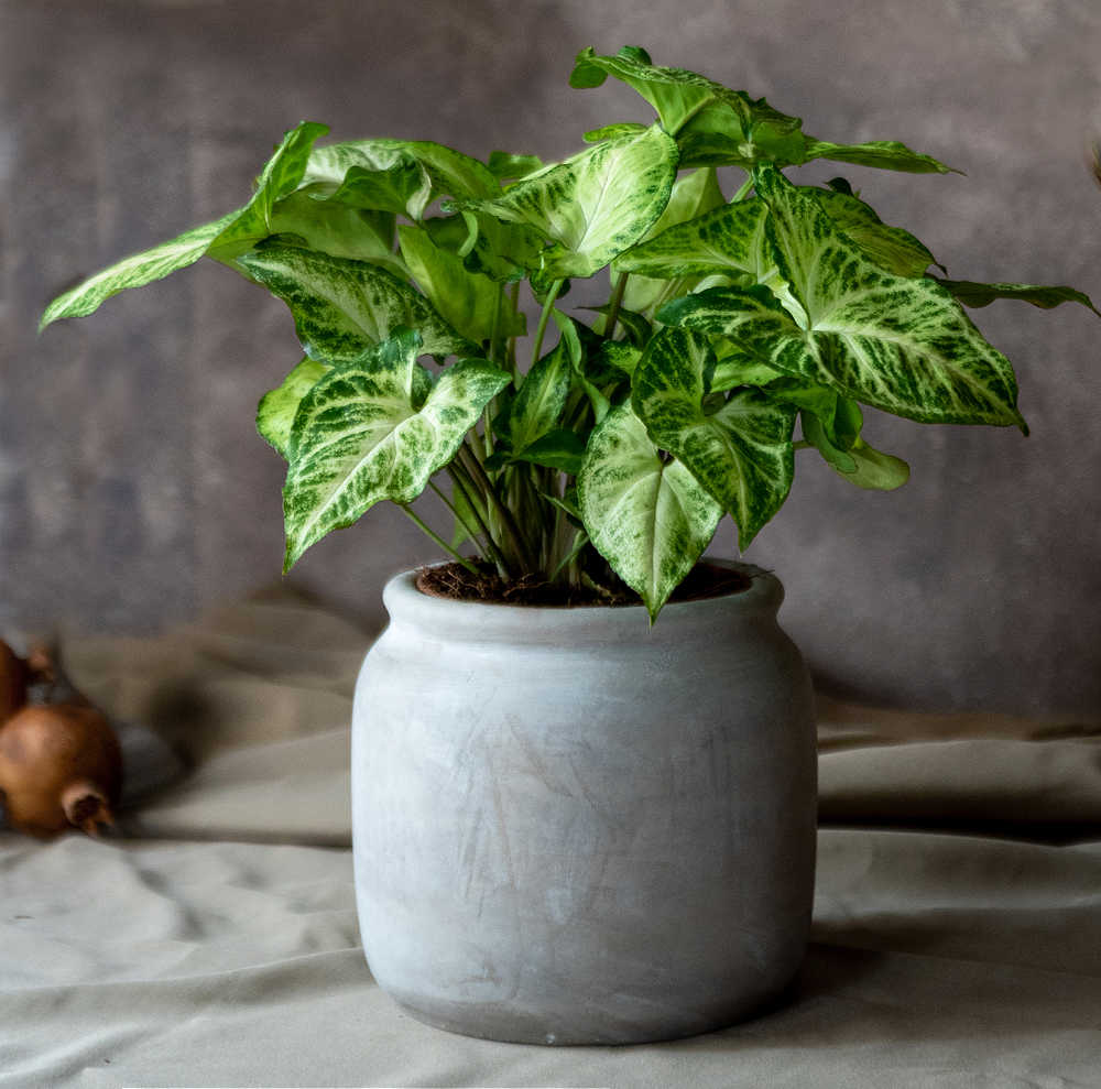 Syngonium plant in a white pot on a table.