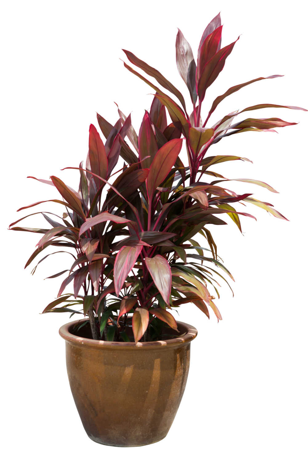 Hawaiian Ti in a bronze colored pot.