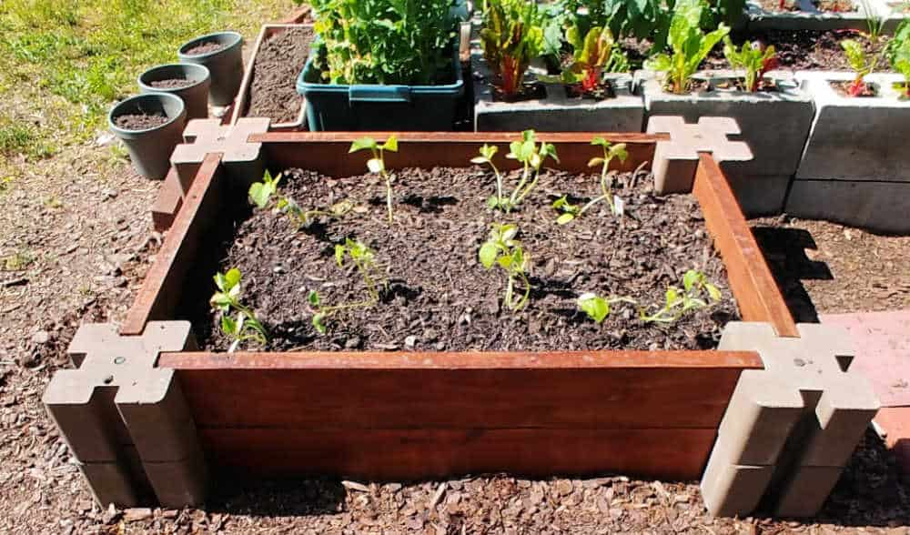 Raised garden bed planted with cucumber plants.