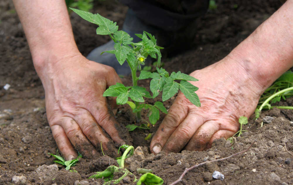 Mans hands planting tomatoes.