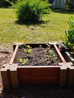 RAised garden bed hear a lawn with a forsythia shrub.