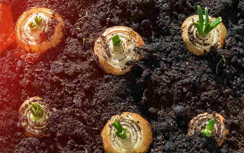 Cebollas brotando de fondos de cebolla.