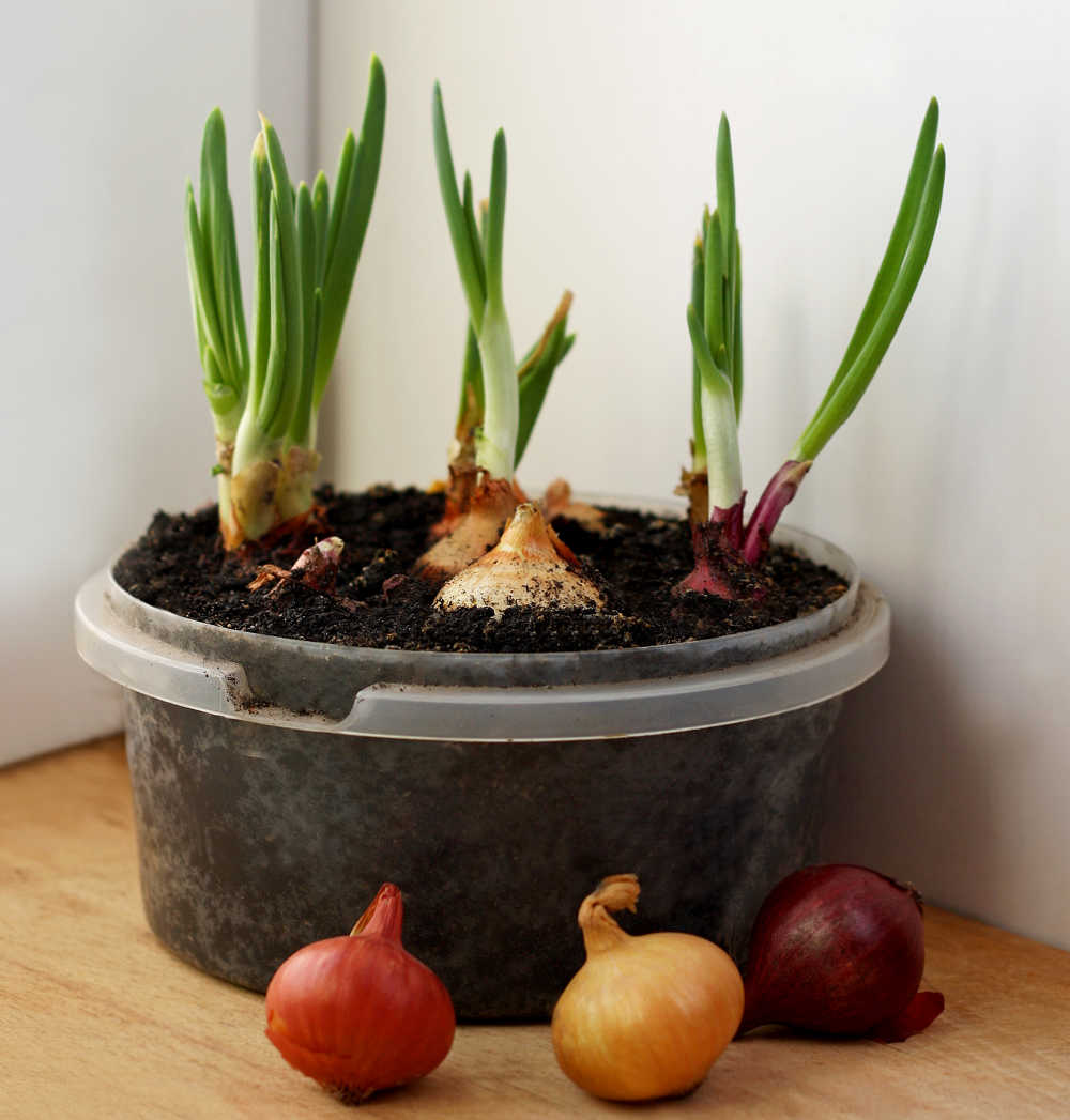 Cebollas que crecen en interiores.