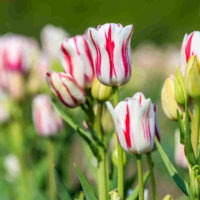 Pink and white striped tulip.