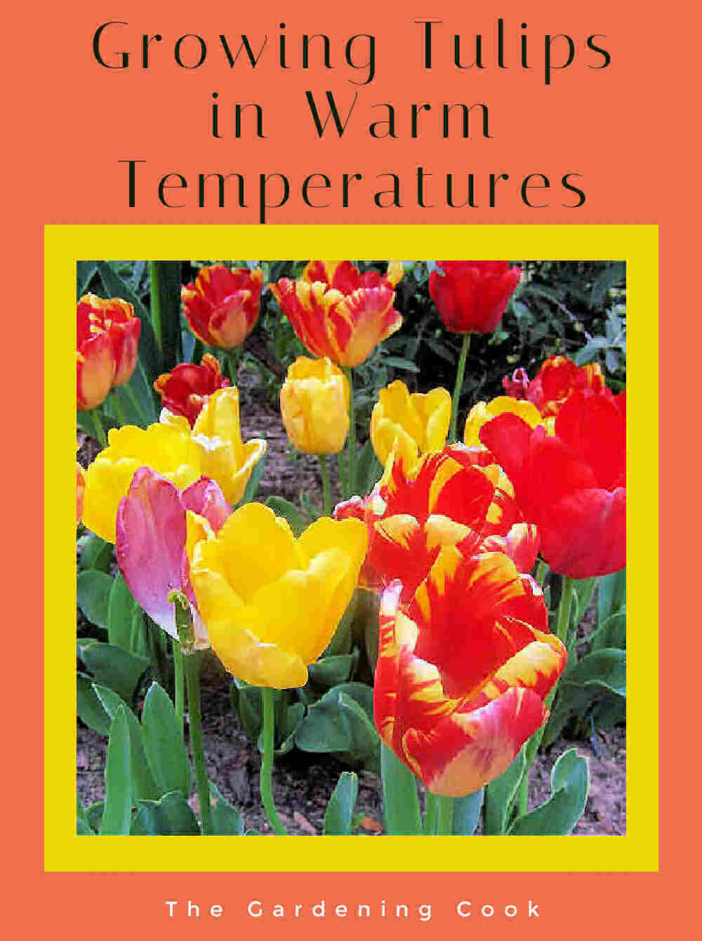 Bunch of colorful tulips with words Growing tulips in warm temperatures.