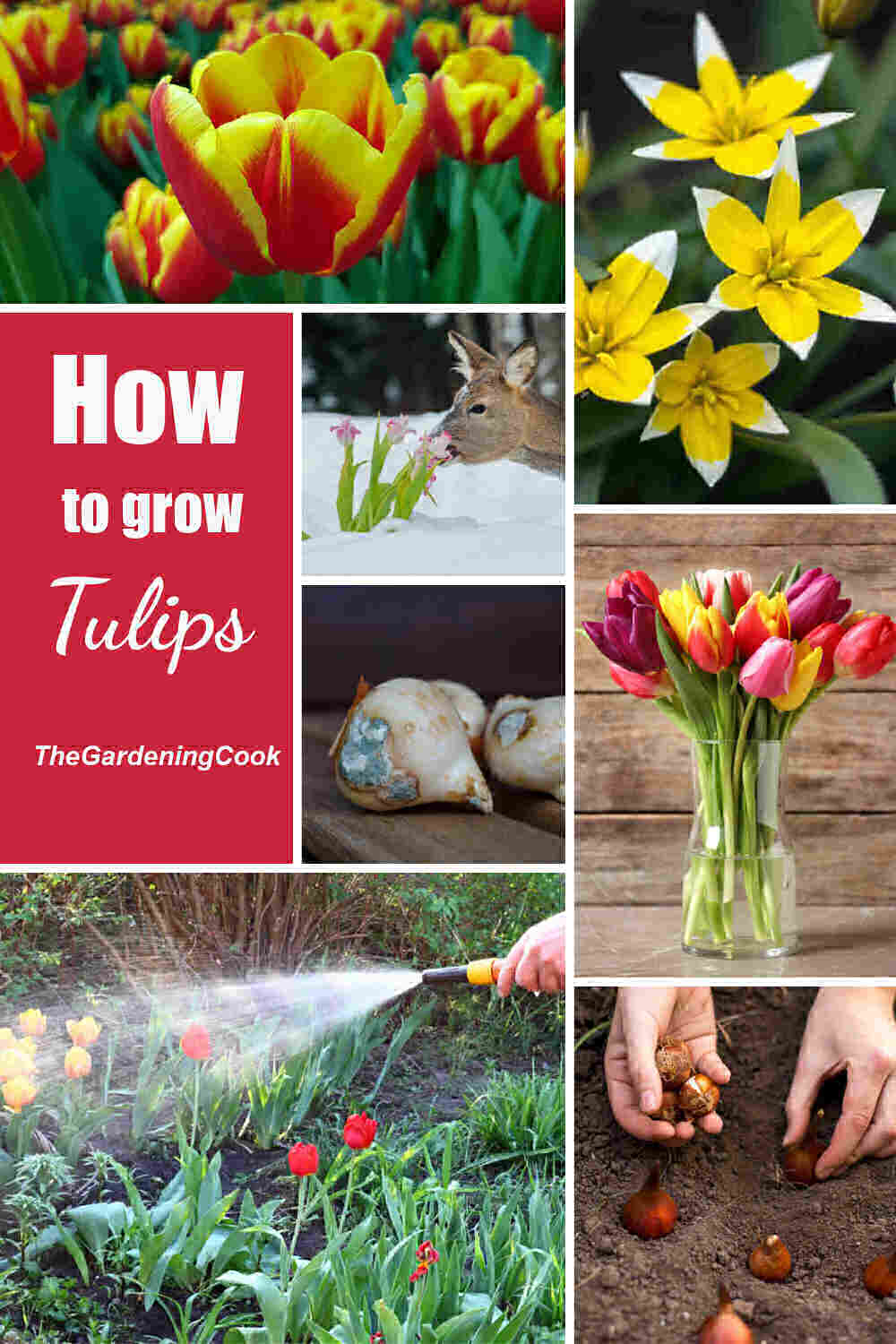 Collage with tulip flowers, deer and tulips, bulbs, watering tulips and words How to Grow tulips.