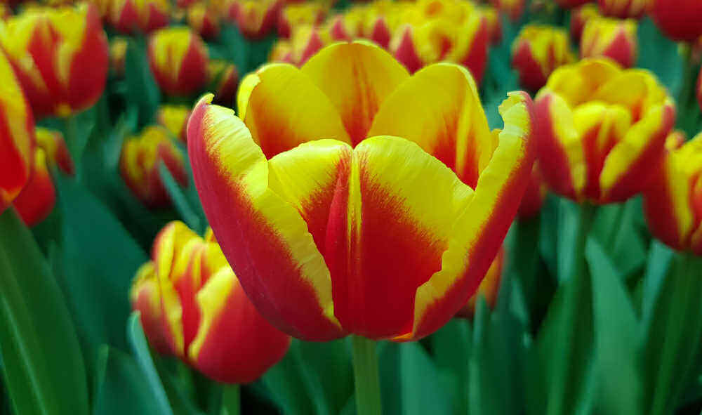 Red and yellow hybrid tulip flowers.