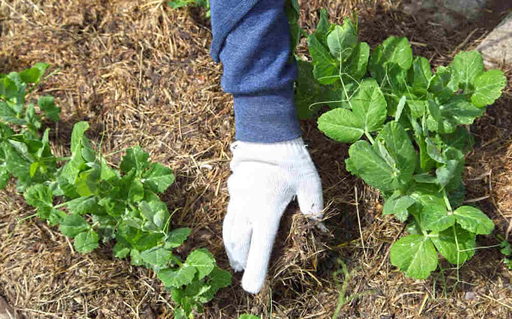 Hand in garden glove adding mulch to snap pea crop.