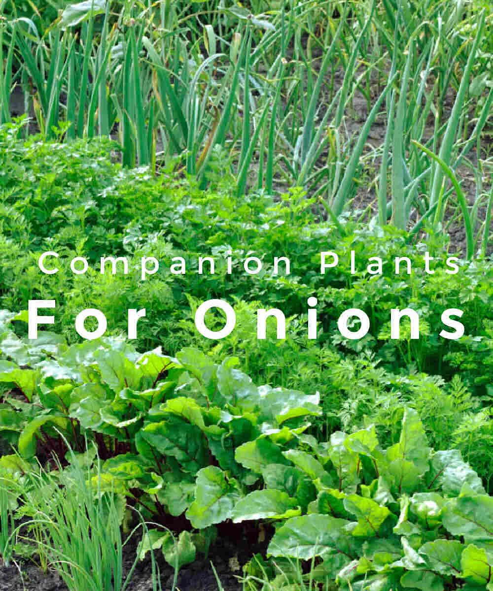 Huerta con cebollas y plantas compañeras de palabras para cebollas.