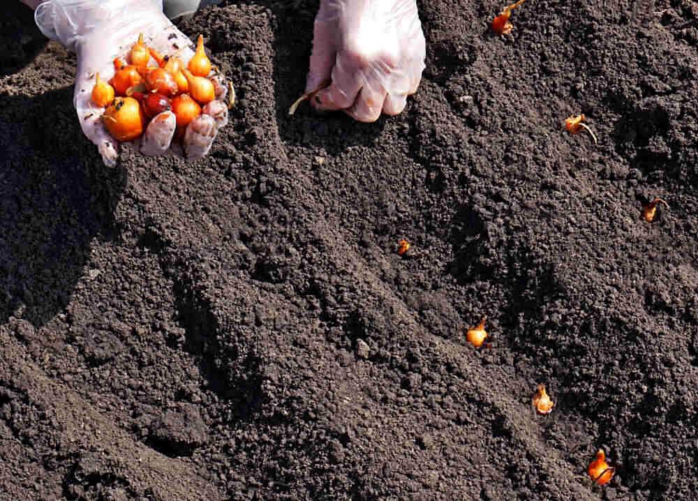 Manos con guantes plantando conjuntos de cebolla.