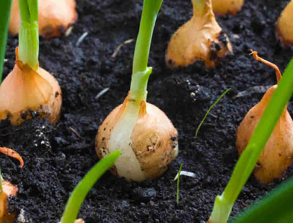 cebollas pequeñas con puntas verdes.