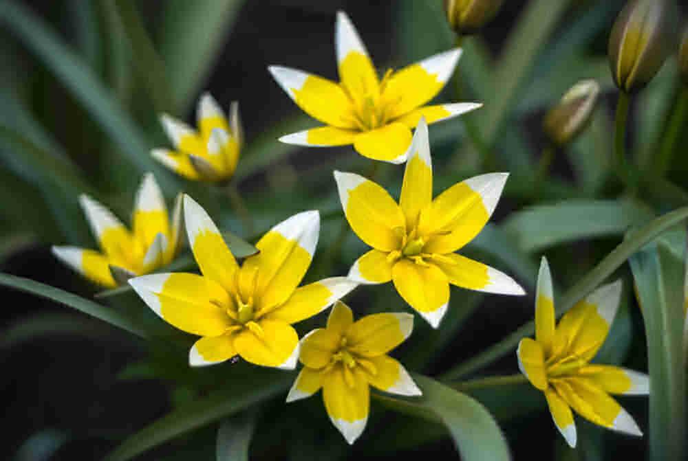 Yellow botanical tulip - Tarda dasystemon - species tulip, early flowering bulb