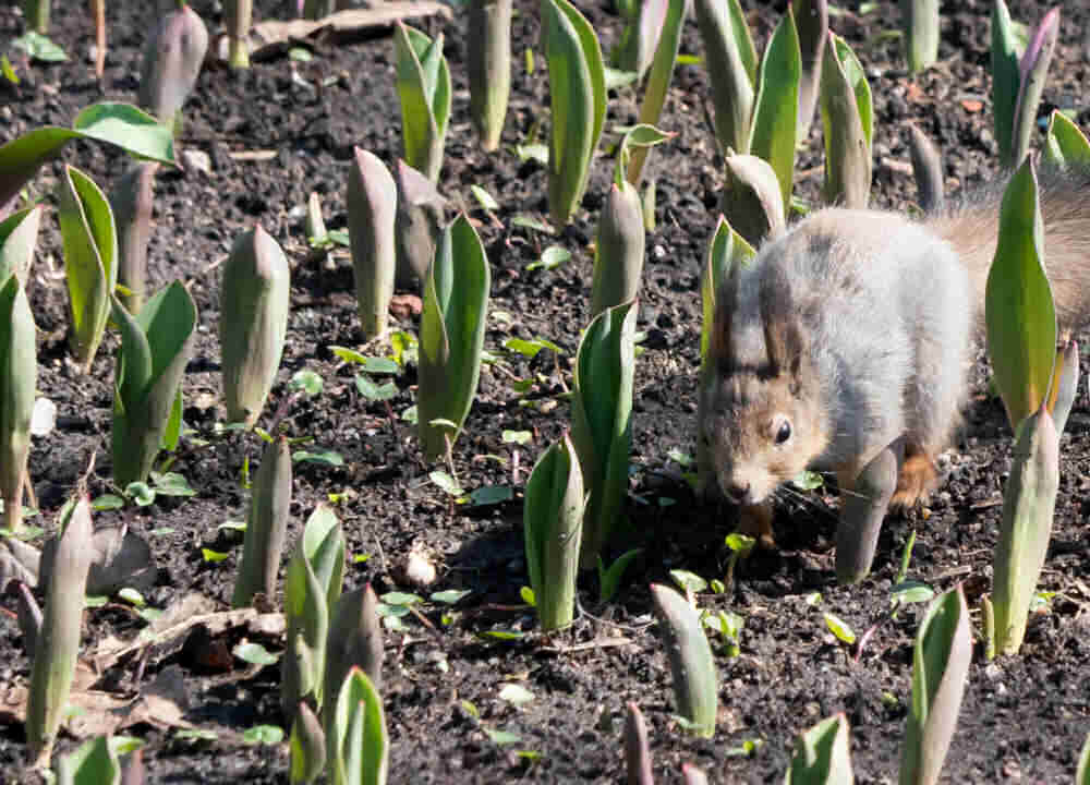 Squirrel in a patch of tulips.