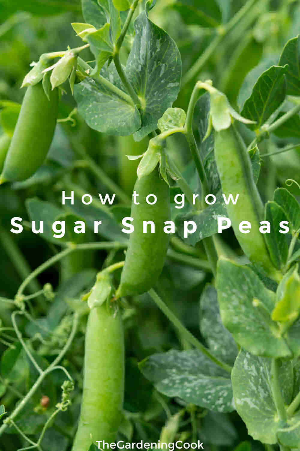Snap pea plants with words How to Grow Sugar Snap Peas.