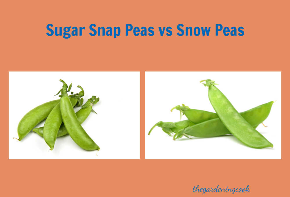 Two types of green peas on a peach colored background with text overlay reading sugar snap peas vs snow peas.