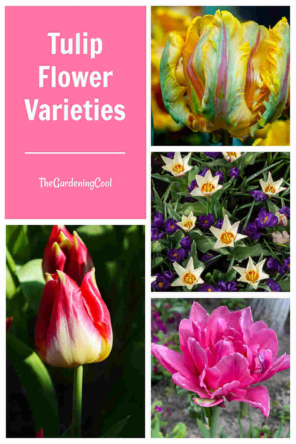 Double, fringed, species and bicolored tulips in a collage with words Tulip flower varieties.