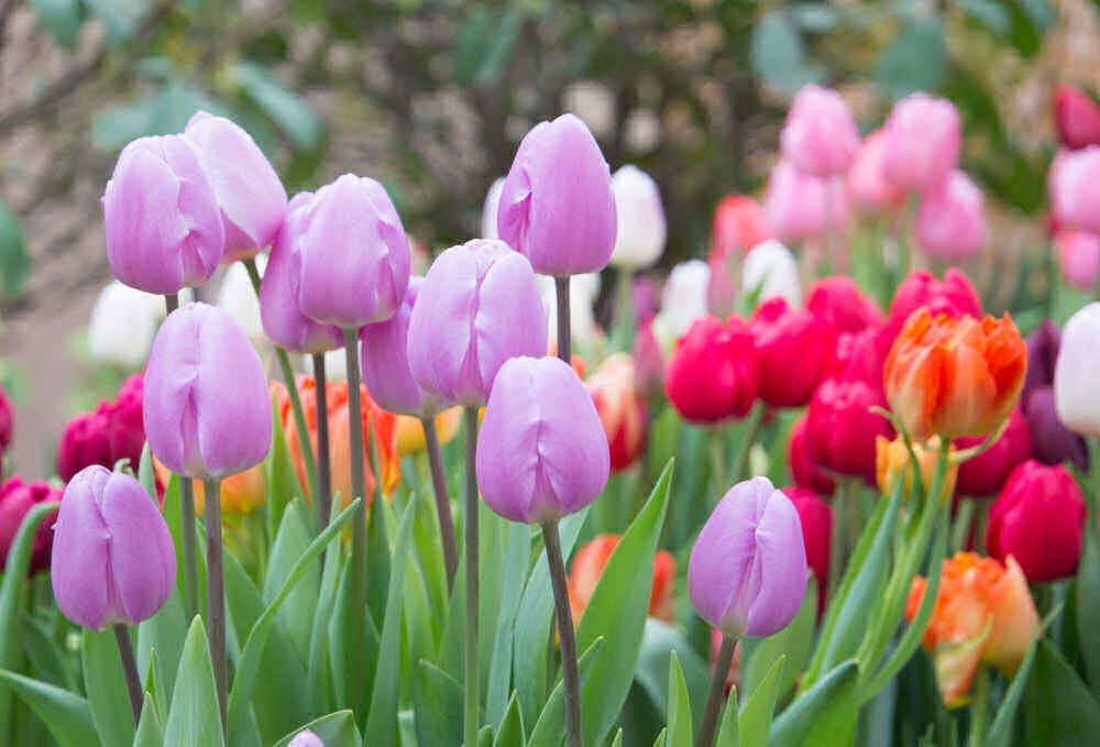Lilac, pink and red tulips in a garden.