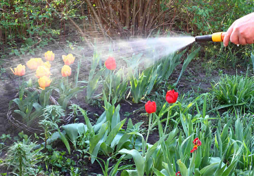 Watering a bed of tulips.