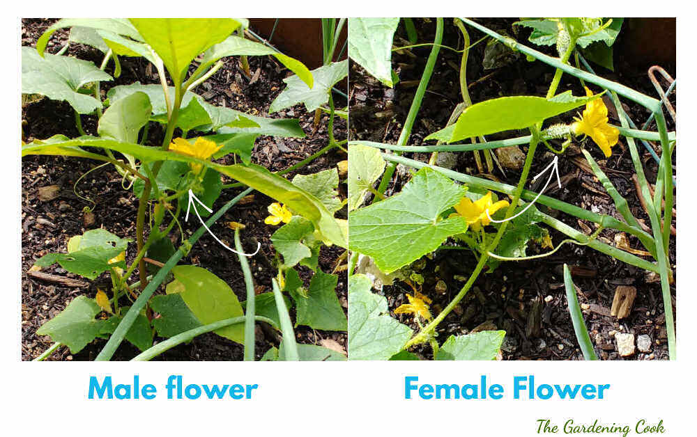 Collage showing male and female cucumber flowers. Female flowers have a tiny fruit behind them.