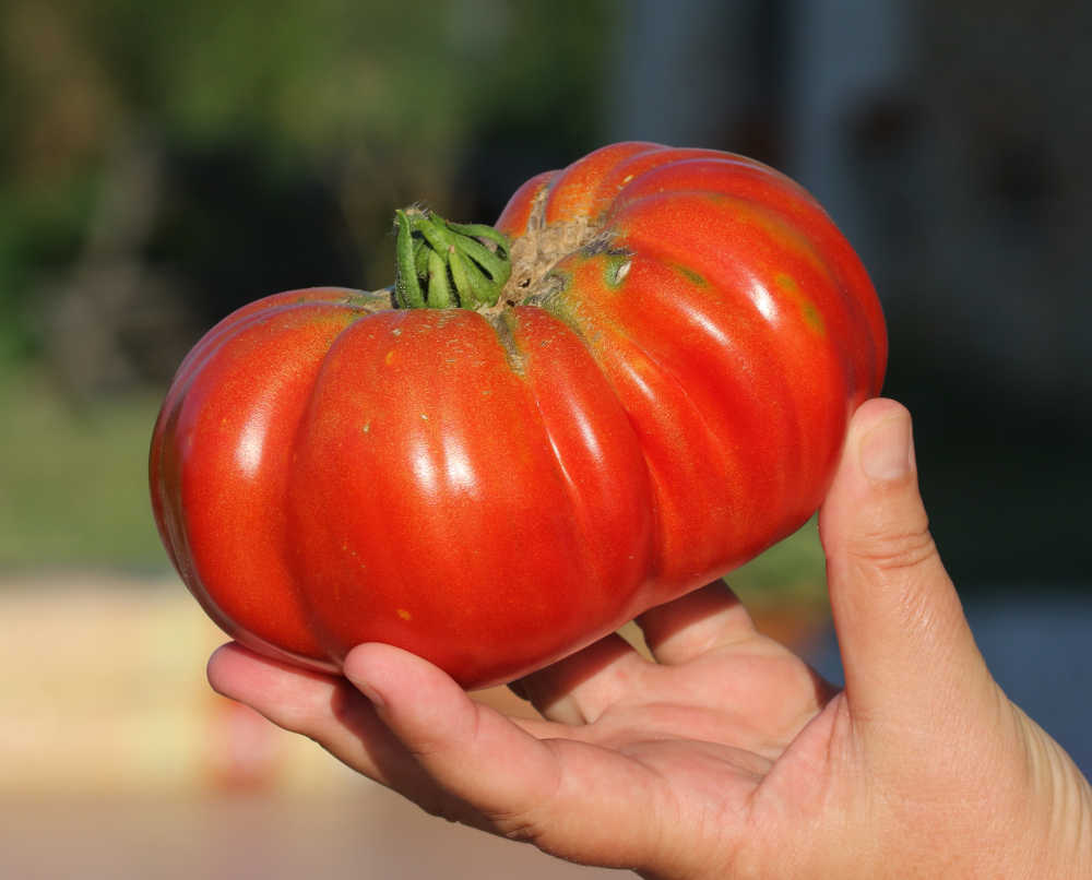 Hand holding a beefsteak tomato.