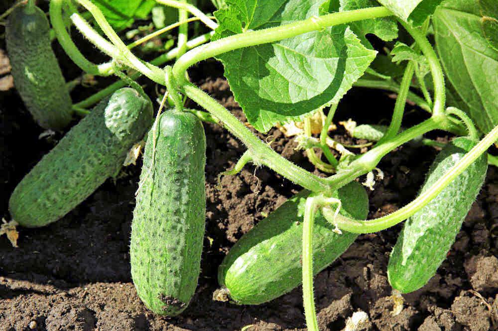 Green cucumbers on the vine.