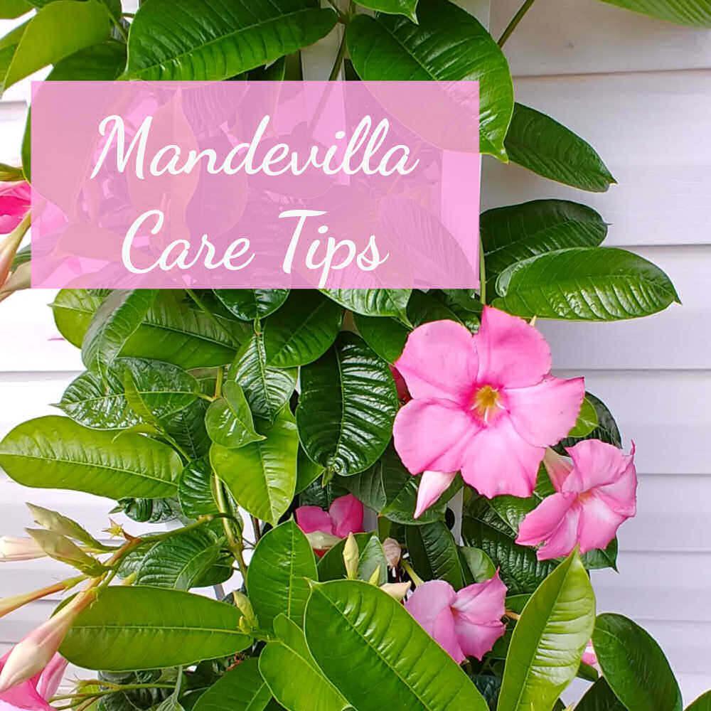 Pink flowering vine with words Mandevilla care tips.