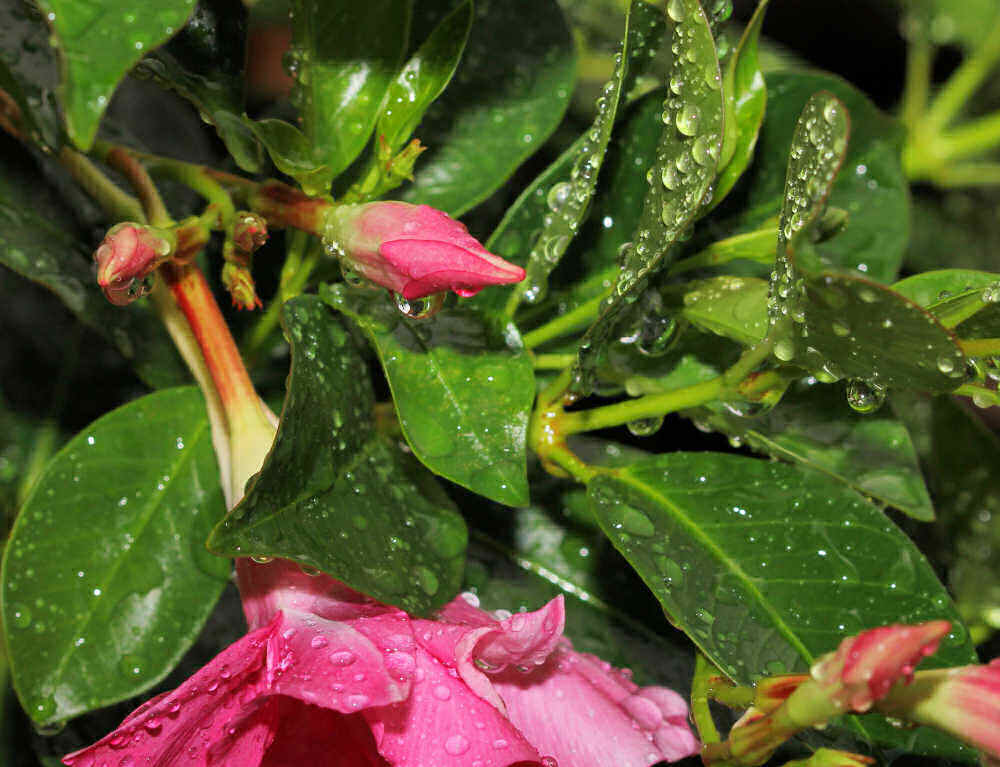 Mandevilla leaves and flowers with rain on them.