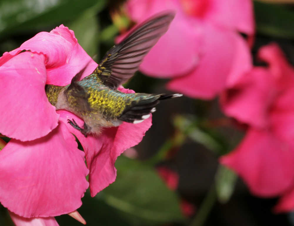 Hummingbird feeding on a mandevilla vine flower.