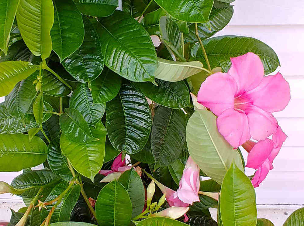 Deep green mandevilla leaves with pink flower.