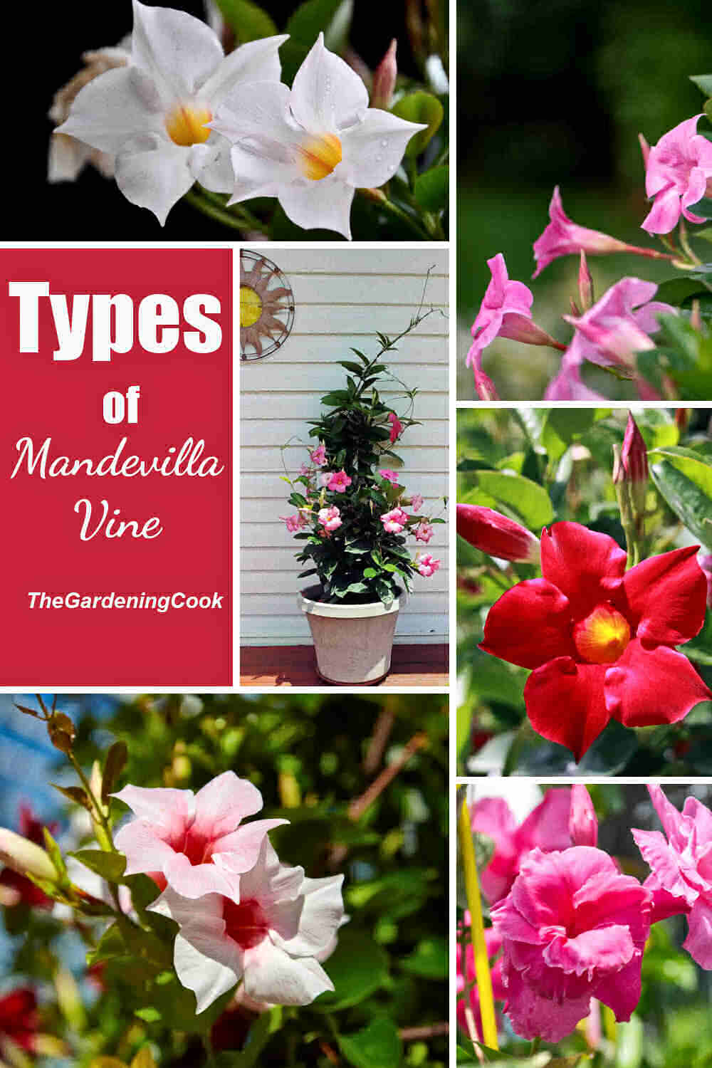 Varieties of mandevilla in a collage with words Types of mandevilla vine.