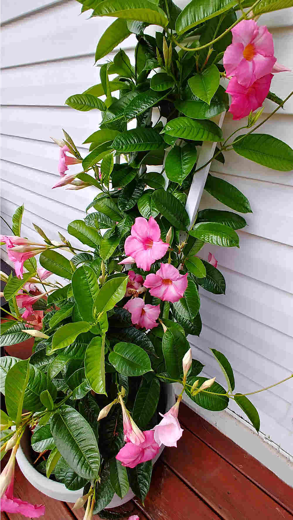Mandevilla plant in a pot with trellis behind it.