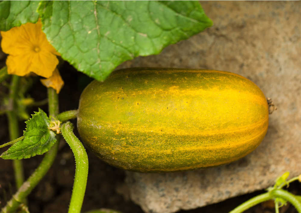 Over large cucumber turning yellow in the garden.