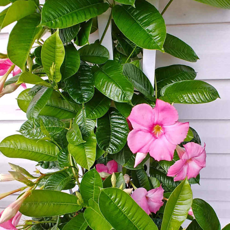 Pink mandevilla plant