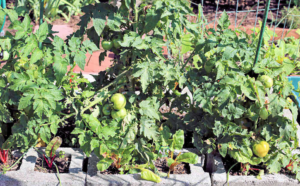 Raised garden bed with patio tomatoes.