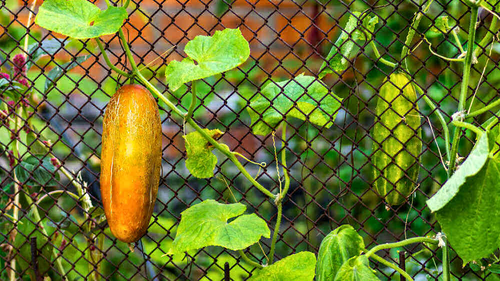 Cucumbers turning yellow and green cucumbers on a trellis.