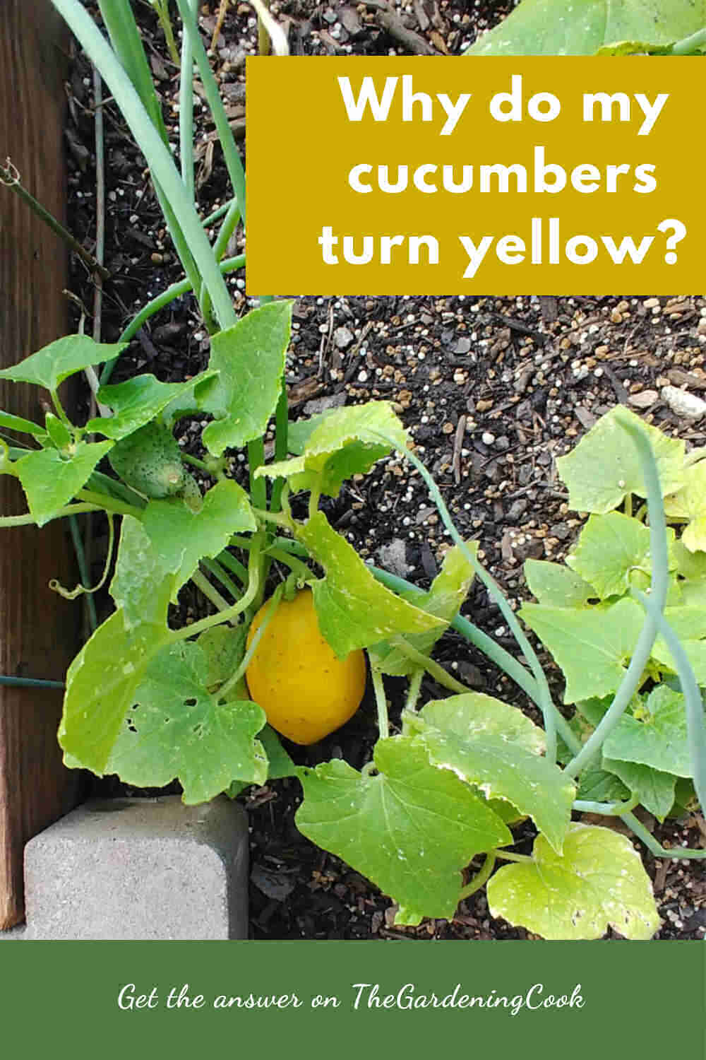 Green and yellow cucumbers on the vine with words Why do my cucumbers turn yellow?