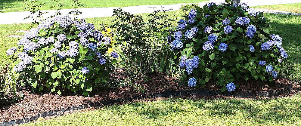 Rows of blue hydrangea bushes in a garden bed.