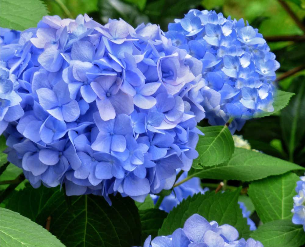 Blue mophead hydrangea flowers.