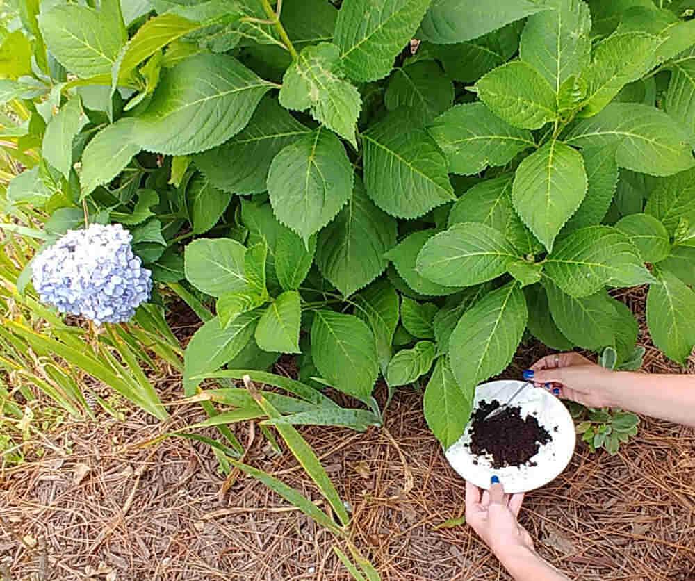 Adding coffee grounds to soil around hydrangea bush.