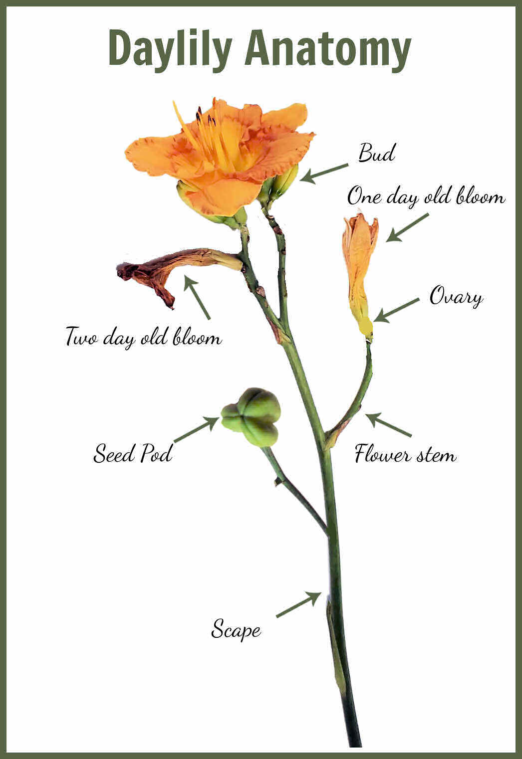 Image showing parts of a daylily with arrows.