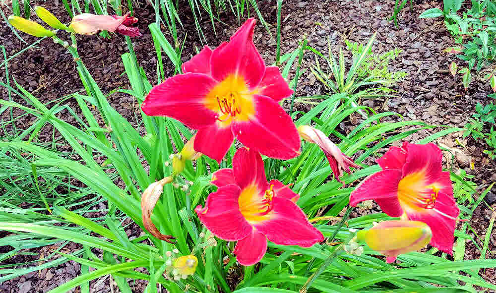 red vols daylily that needs some deadheading.