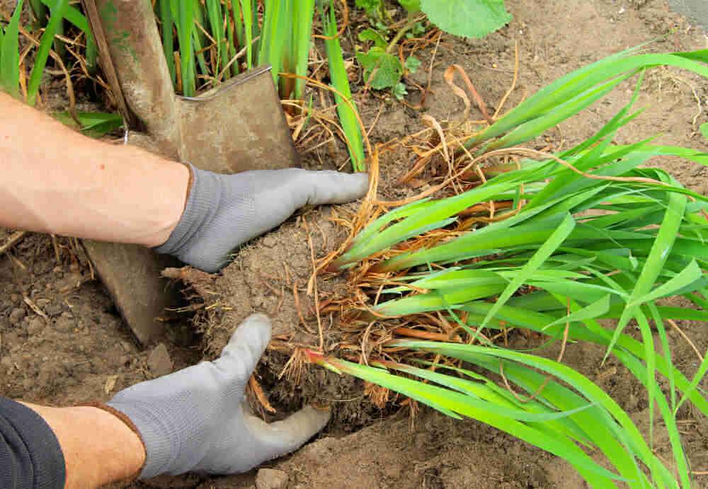 Hands in gardening gloves, dividing daylilies