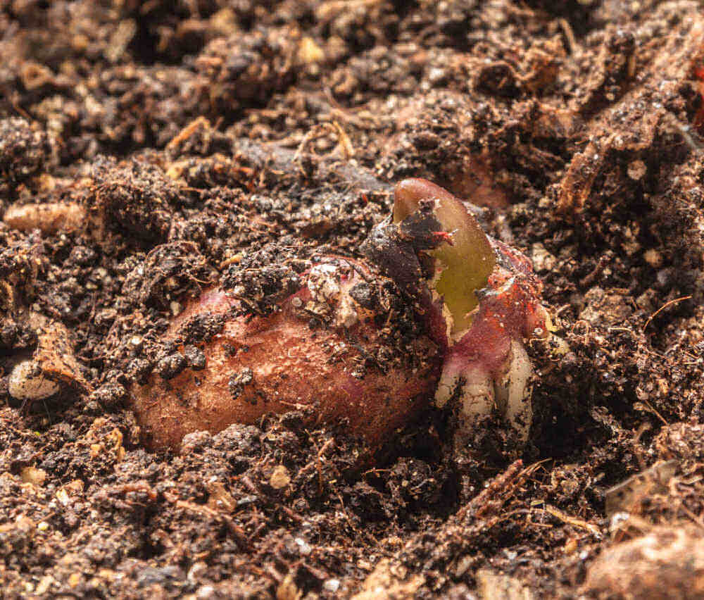 Sprouting tuber in a bed of soil.
