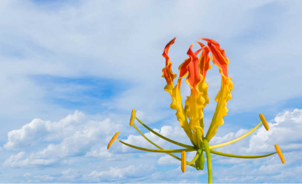 Flame lily with blue sky behind it.