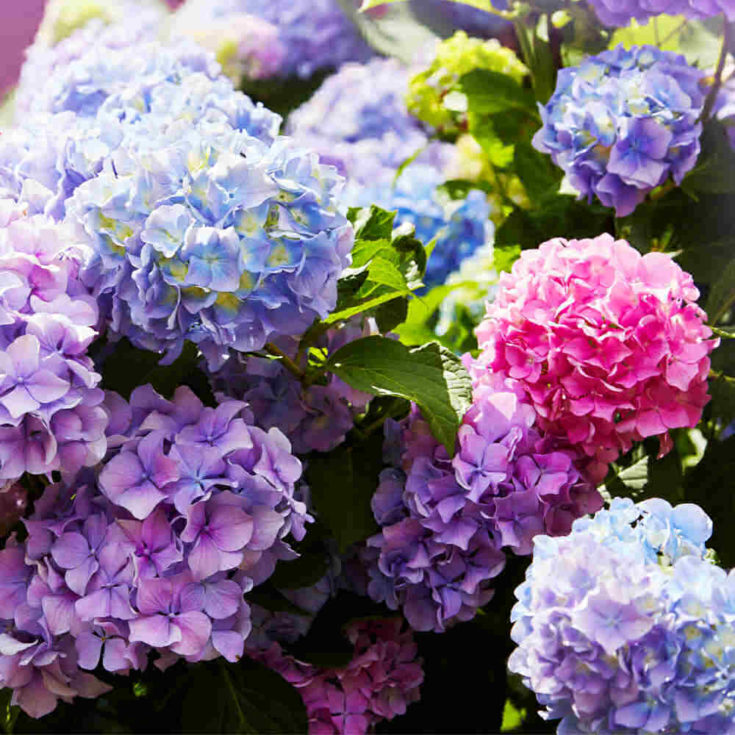 HYdrangea colors of blooms.