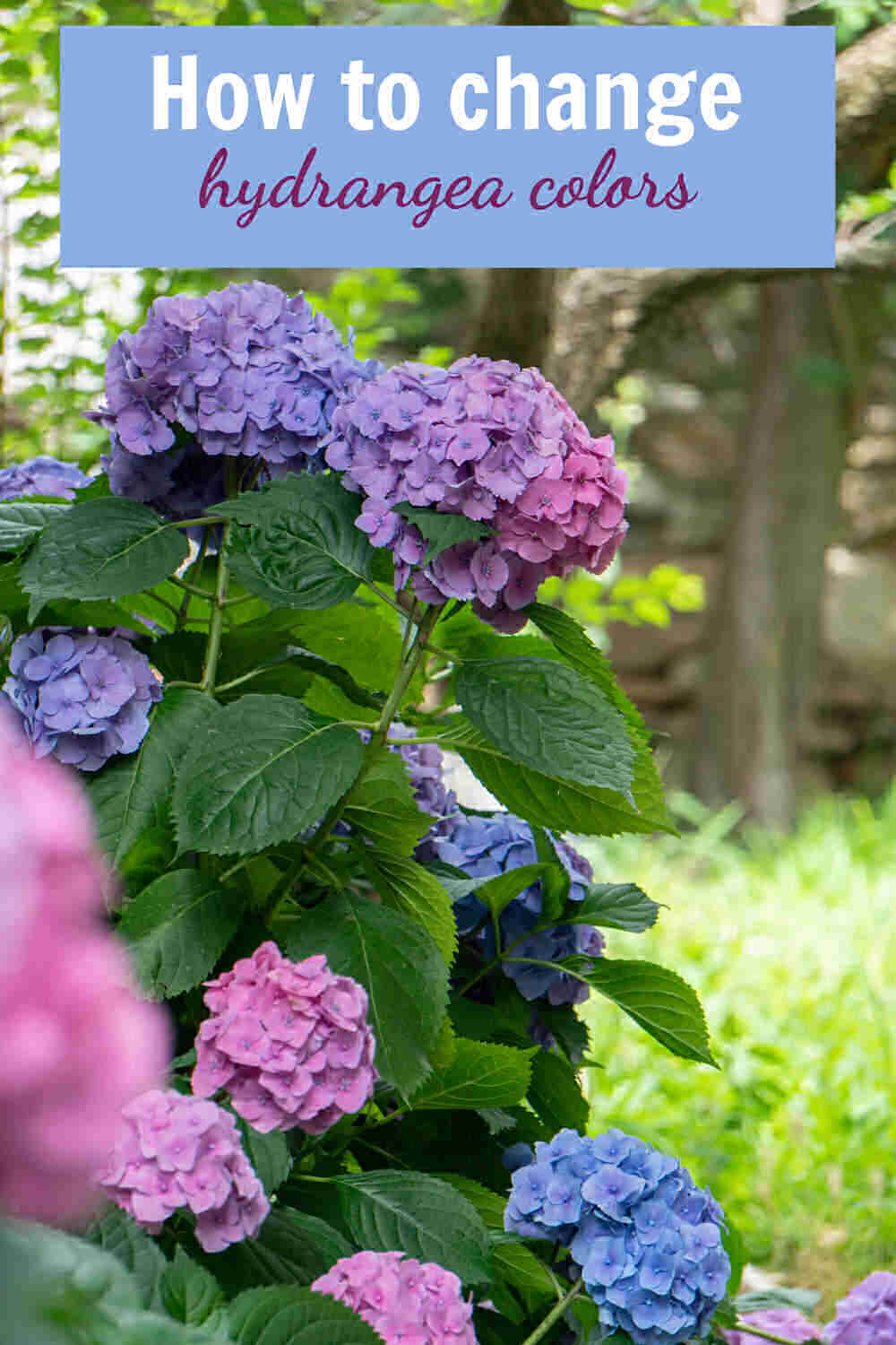 Pink and blue hydrangea blooms with words How to change hydrangea colors.