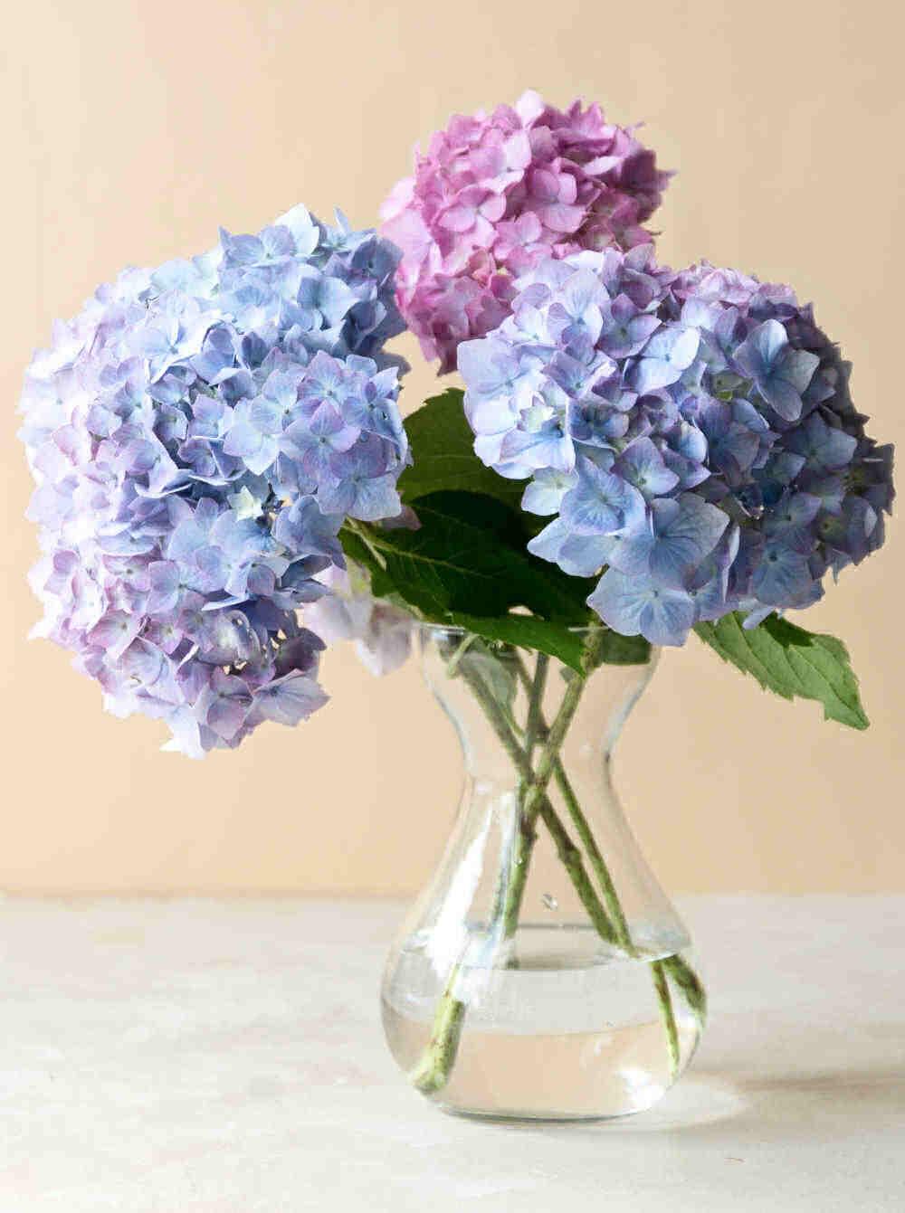 Cut hydrangea flowers in a clear vase.